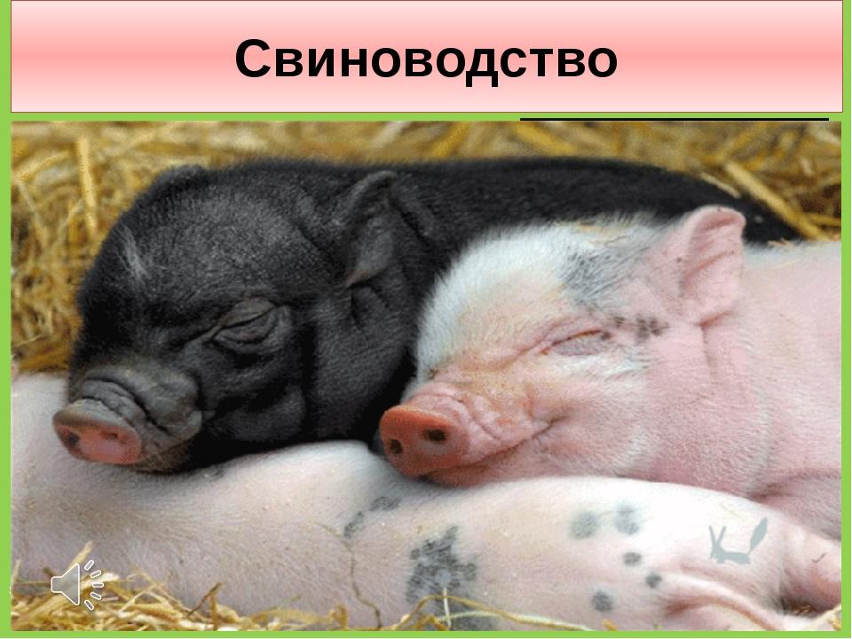 Свиноводство Спереди — пятачок, Сзади — крючок, Посредине — спинка, На спинке...