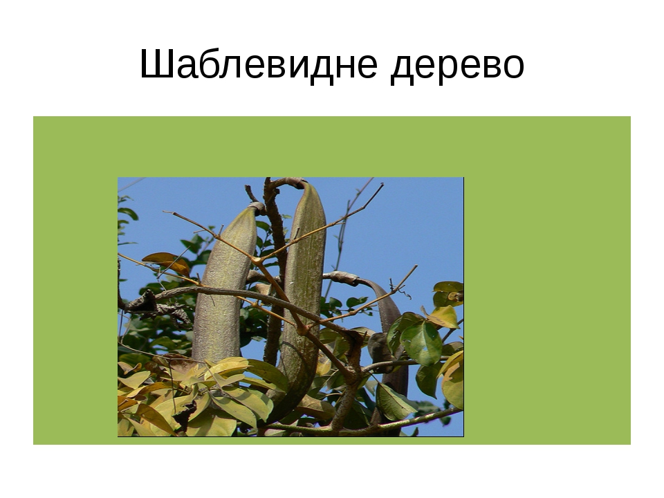 Шаблевидне дерево