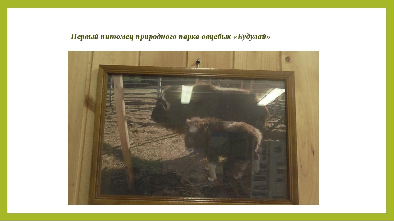 Первый питомец природного парка овцебык «Будулай»