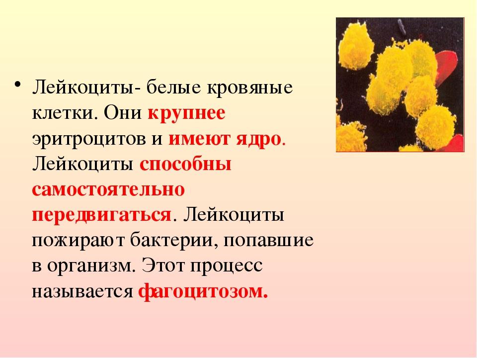 Лейкоциты- белые кровяные клетки. Они крупнее эритроцитов и имеют ядро. Лейко...