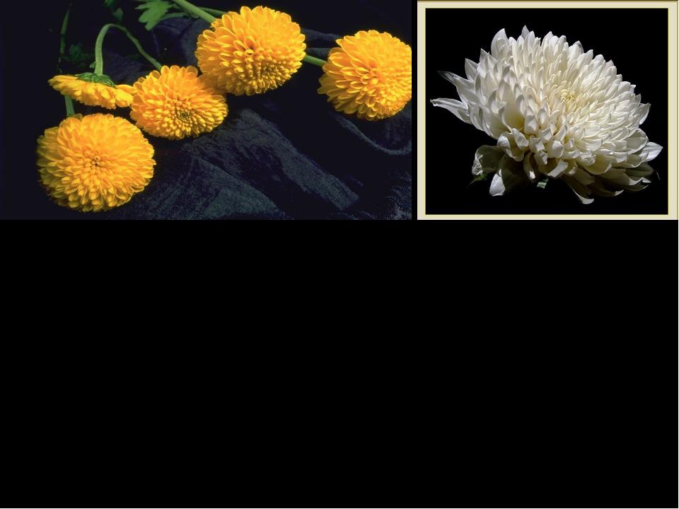 Белая хризантема в самом начале стихотворения добавляет ему некоторой степенн...