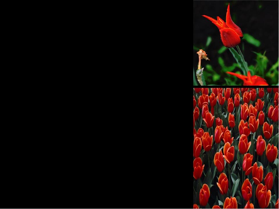 Этот «тюльпан» подобен замку, который держит на себе всю композицию стиха, е...