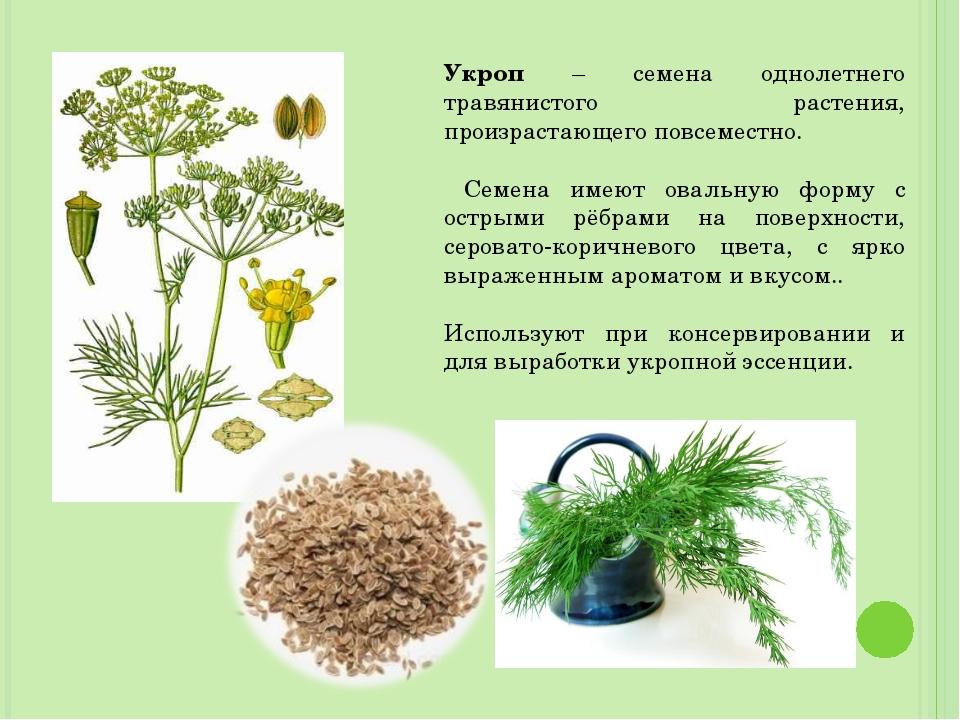 Укроп – семена однолетнего травянистого растения, произрастающего повсеместно...