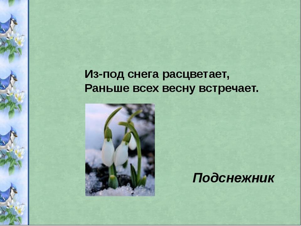 Из-под снега расцветает, Раньше всех весну встречает. Подснежник