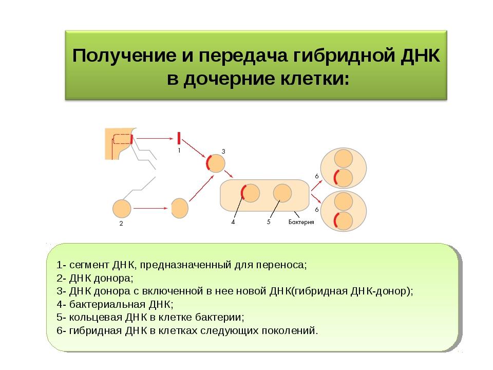 1- сегмент ДНК, предназначенный для переноса; 2- ДНК донора; 3- ДНК донора с...