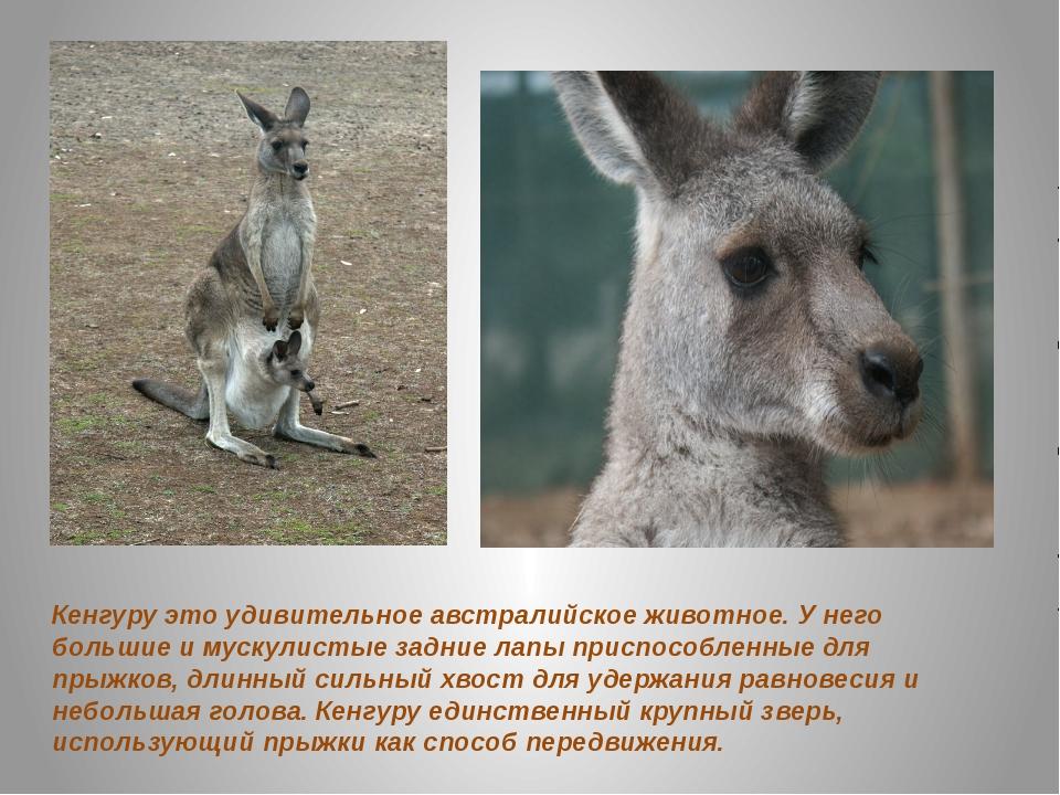 Кенгуру это удивительное австралийское животное. У него большие и мускулистые...