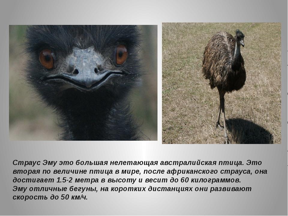 Страус Эму это большая нелетающая австралийская птица. Это вторая по величине...