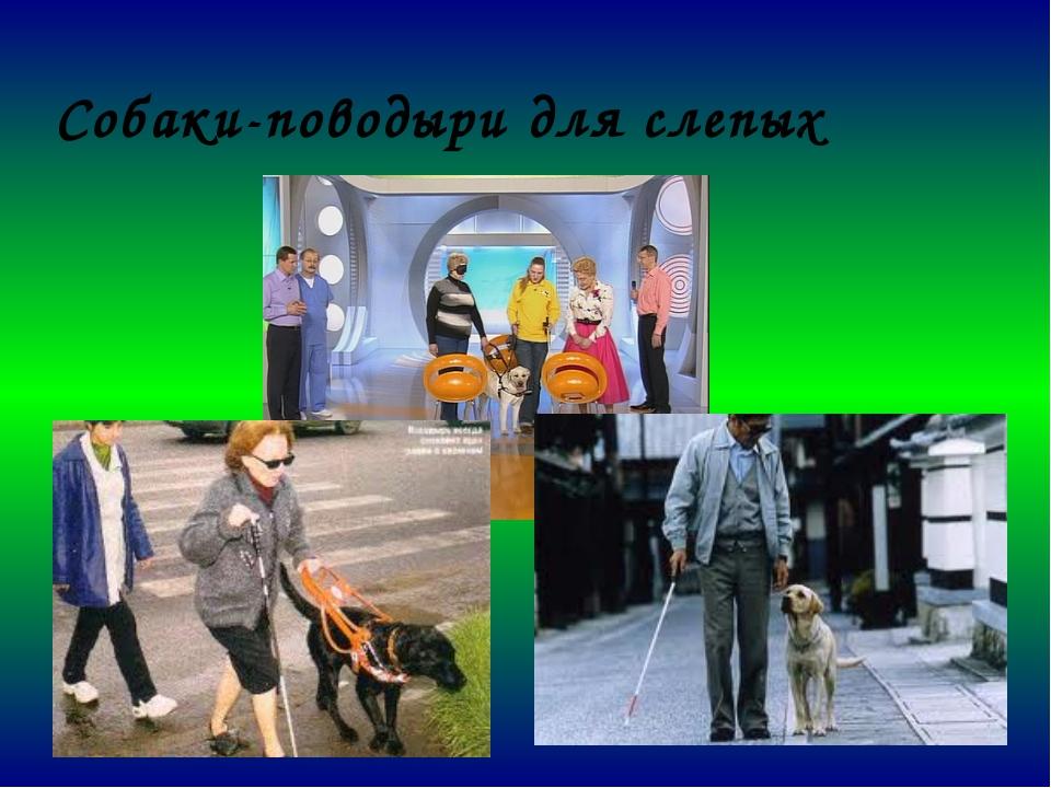Собаки-поводыри для слепых