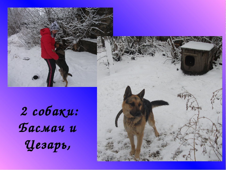 2 собаки: Басмач и Цезарь,