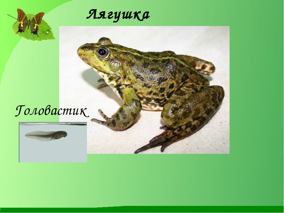Лягушка Головастик