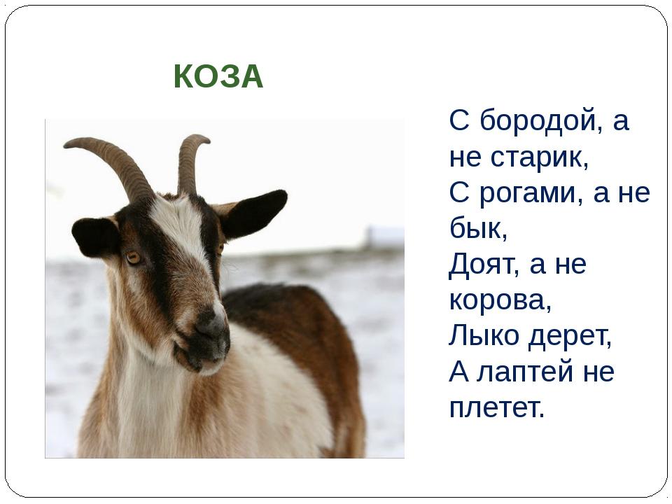 С бородой, а не старик, С рогами, а не бык, Доят, а не корова, Лыко дерет,...