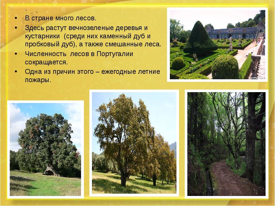 В стране много лесов. В стране много лесов. Здесь растут вечнозеленые дерев...