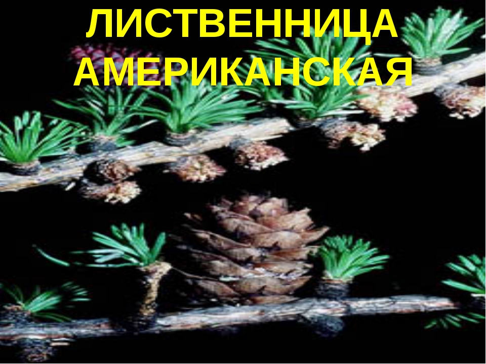 ЛИСТВЕННИЦА АМЕРИКАНСКАЯ