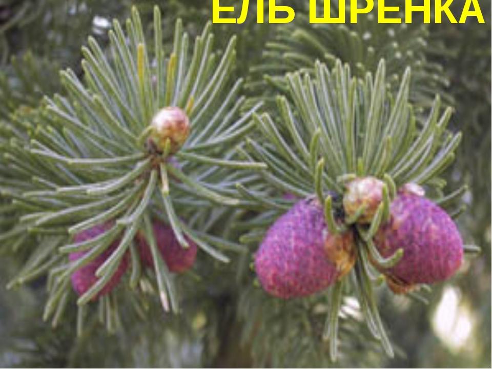 ЕЛЬ ШРЕНКА
