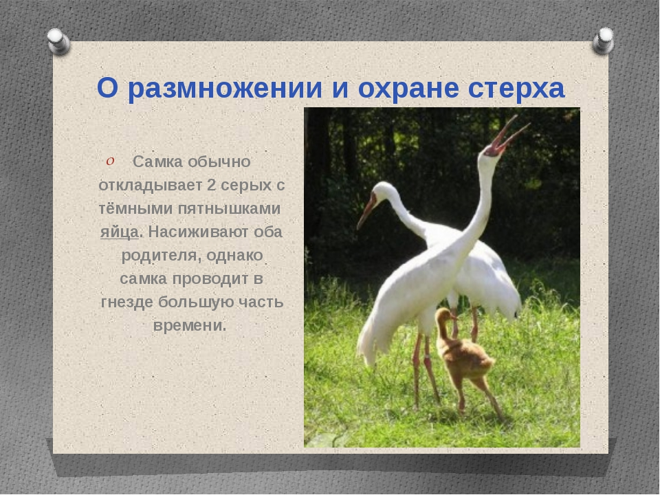 О размножении и охране стерха Самка обычно откладывает 2 серых с тёмными пятн...