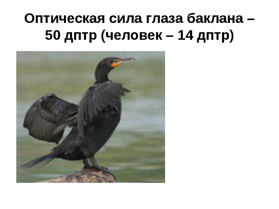 Оптическая сила глаза баклана – 50 дптр (человек – 14 дптр)
