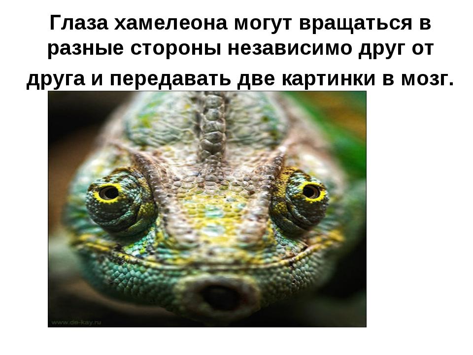 Глаза хамелеона могут вращаться в разные стороны независимо друг от друга и п...