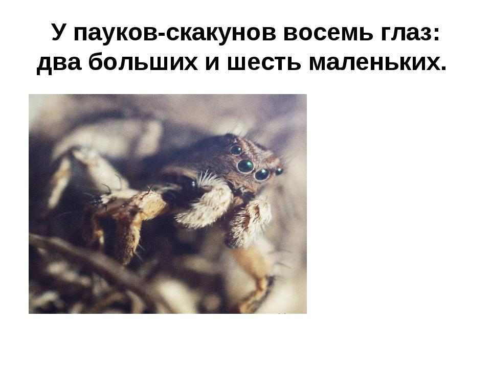У пауков-скакунов восемь глаз: два больших и шесть маленьких.