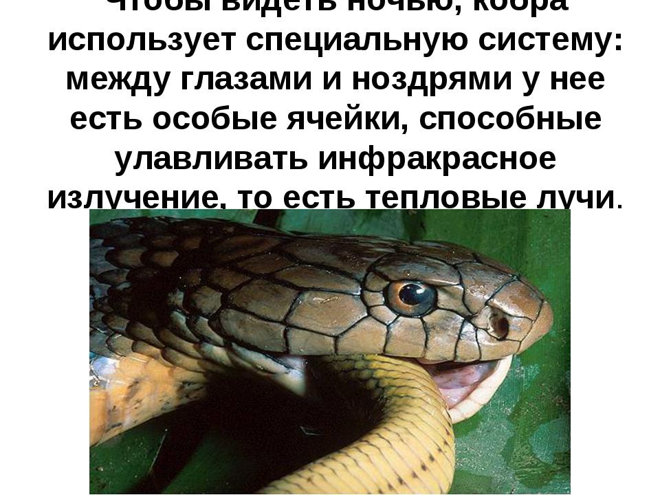 Чтобы видеть ночью, кобра использует специальную систему: между глазами и ноз...