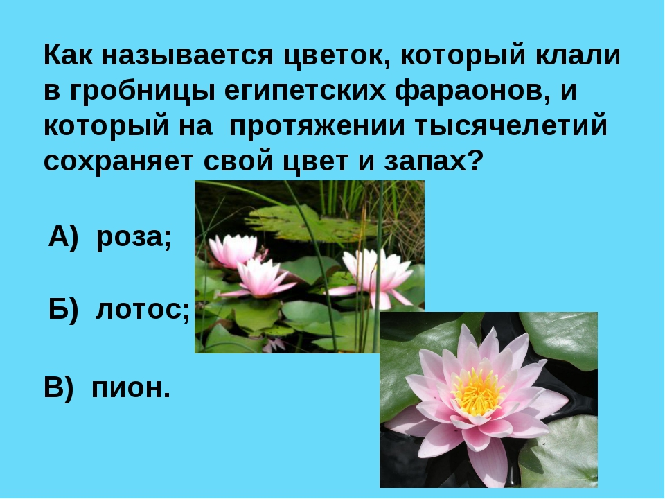 Как называется цветок, который клали в гробницы египетских фараонов, и которы...