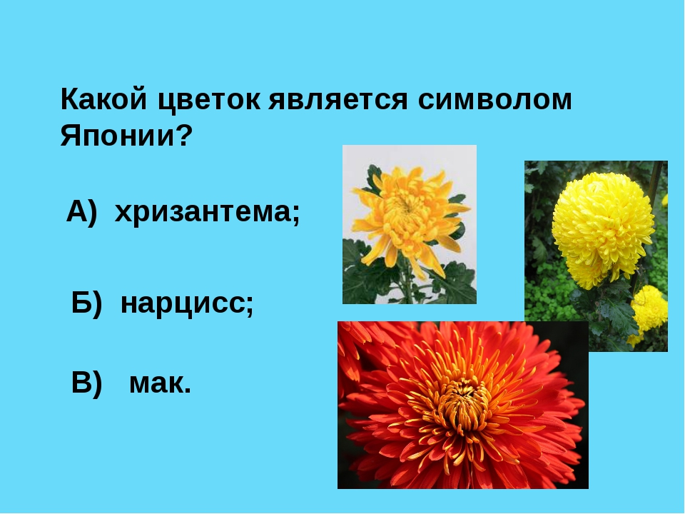 Какой цветок является символом Японии? А) хризантема; Б) нарцисс; В) мак.