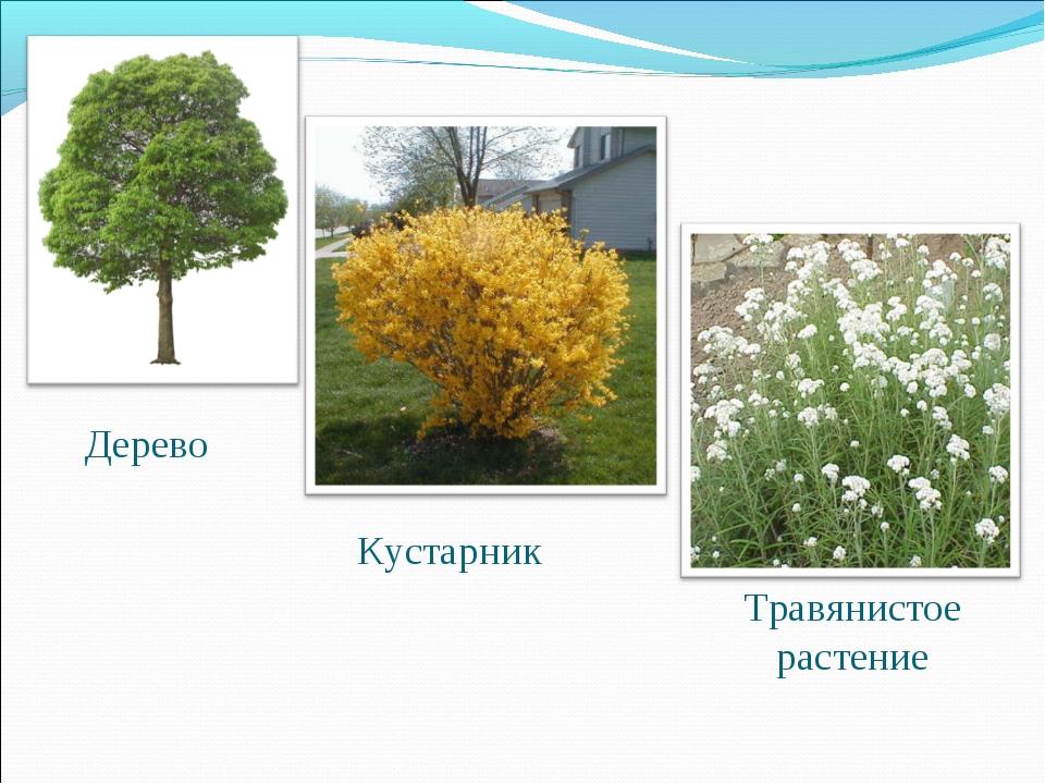 Дерево Кустарник Травянистое растение