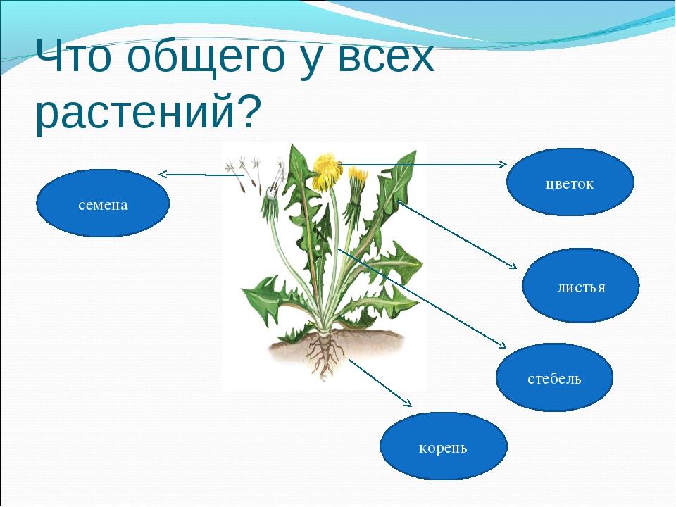 Что общего у всех растений? листья цветок корень стебель семена