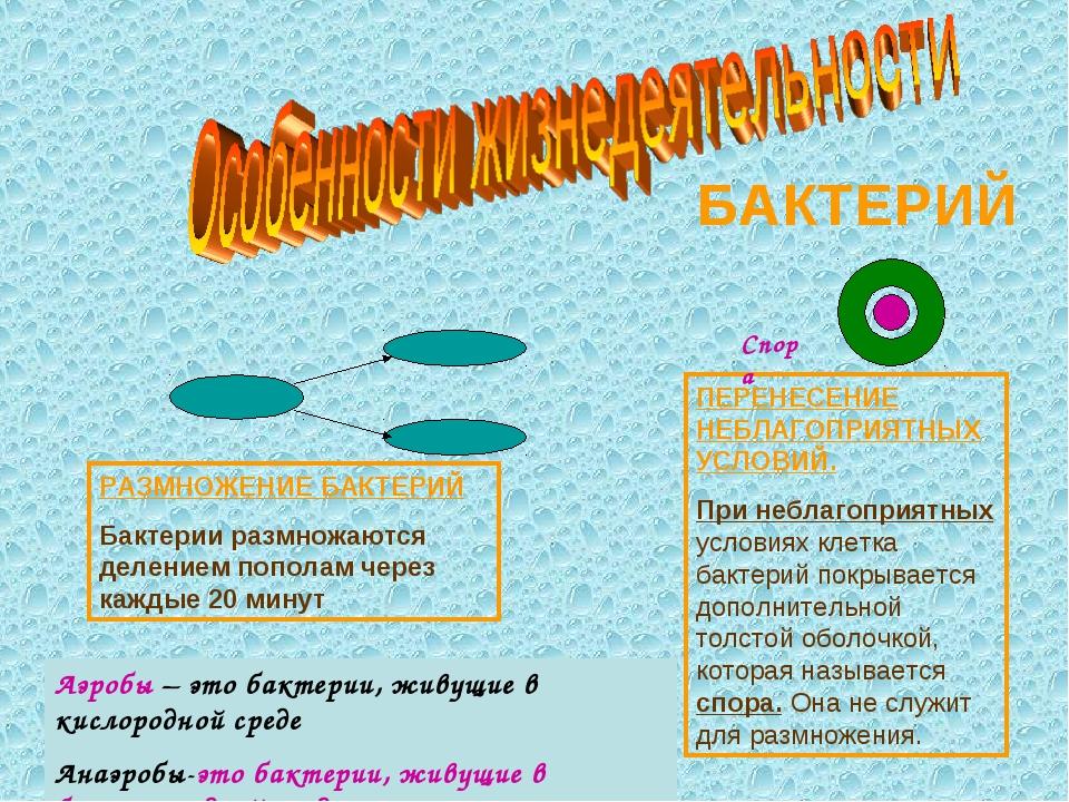 РАЗМНОЖЕНИЕ БАКТЕРИЙ Бактерии размножаются делением пополам через каждые 20 м...