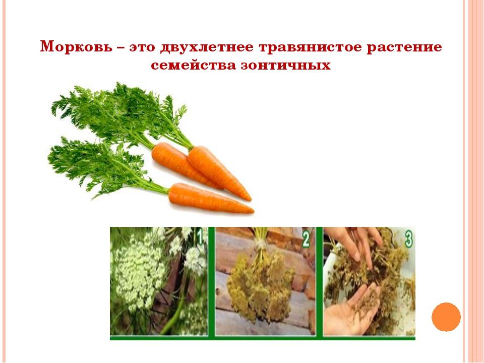 Морковь – это двухлетнее травянистое растение семейства зонтичных