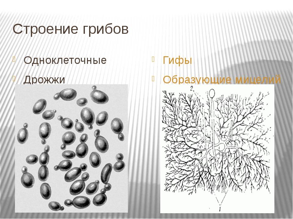 Строение грибов Одноклеточные Дрожжи Гифы Образующие мицелий