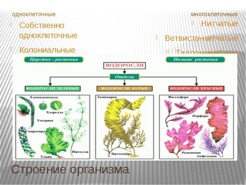Строение организма одноклеточные многоклеточные Собственно одноклеточные Коло...