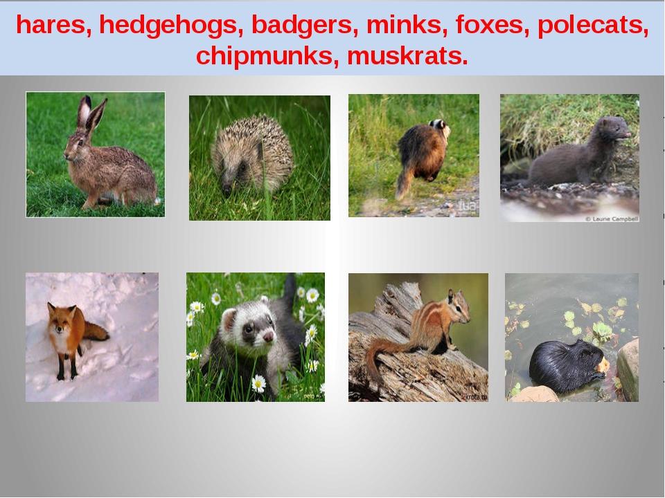 hares, hedgehogs, badgers, minks, foxes, polecats, chipmunks, muskrats.