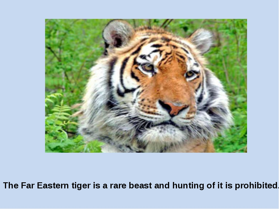The Far Eastern tiger is a rare beast and hunting of it is prohibited.