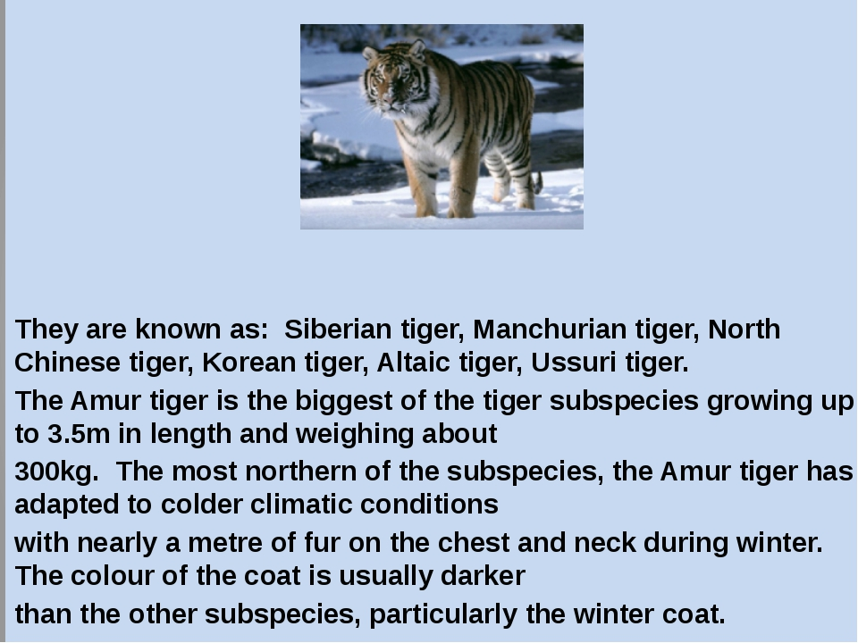 Ussuri tigers. They are known as: Siberian tiger, Manchurian tiger, North Chi...