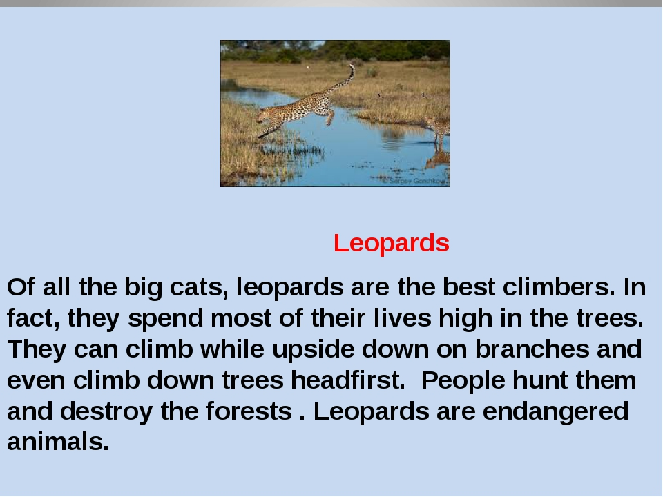 д Leopards Of all the big cats, leopards are the best climbers. In fact, the...