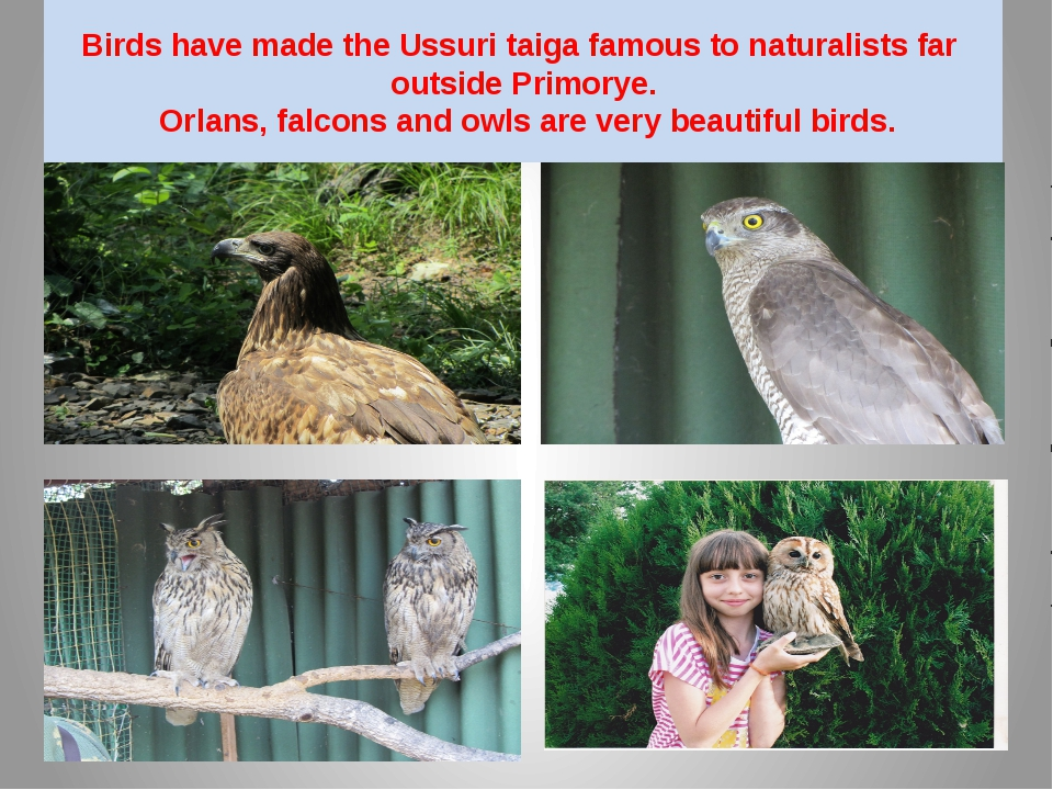 Birds have made the Ussuri taiga famous to naturalists far outside Primorye....