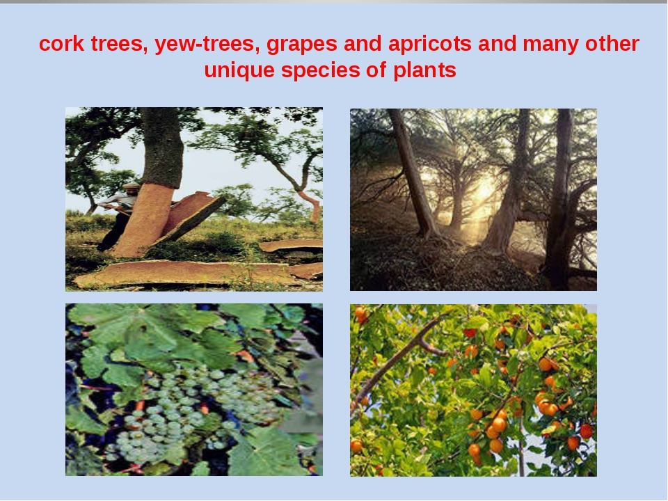 cork trees, yew-trees, grapes and apricots and many other unique species of...
