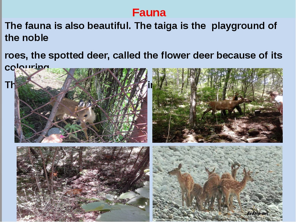 Fauna The fauna is also beautiful. The taiga is the playground of the noble...