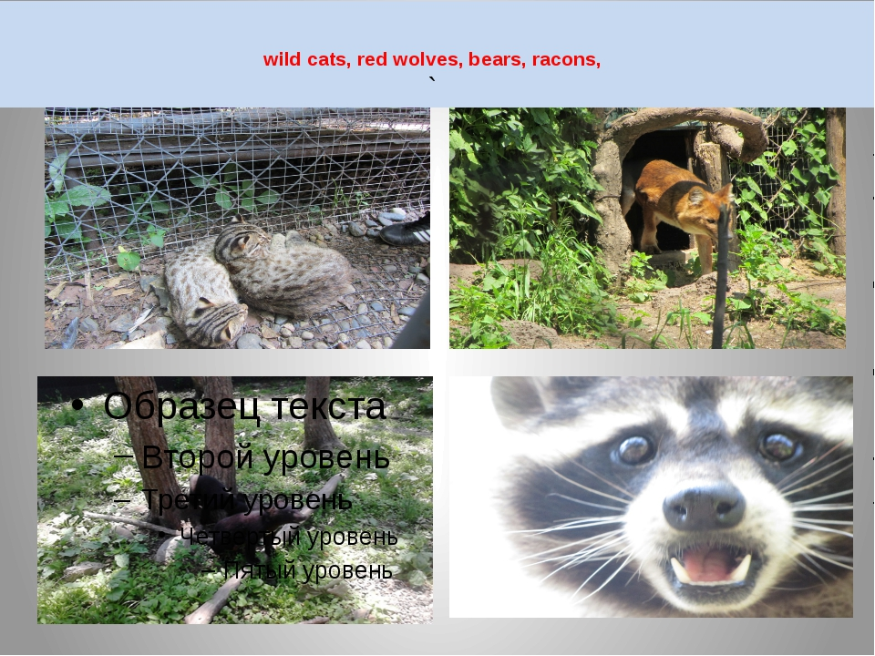 wild cats, red wolves, bears, racons, `