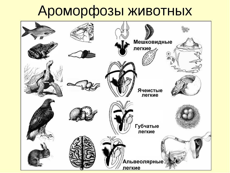 Ароморфозы животных
