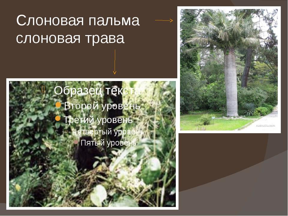 Слоновая пальма слоновая трава