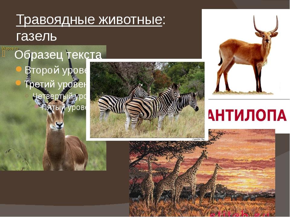 Травоядные животные: газель