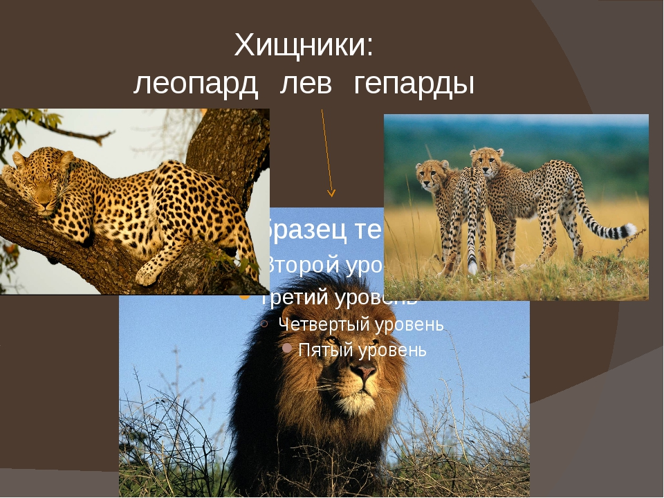 Хищники: леопардлевгепарды