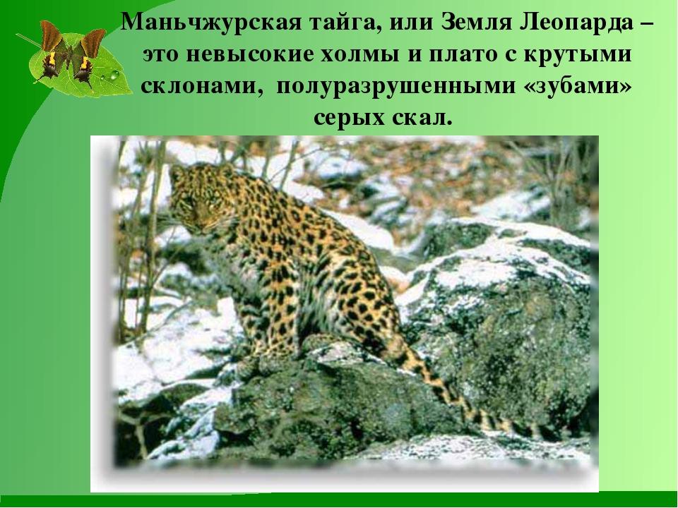 Маньчжурская тайга, или Земля Леопарда – это невысокие холмы и плато с крутым...