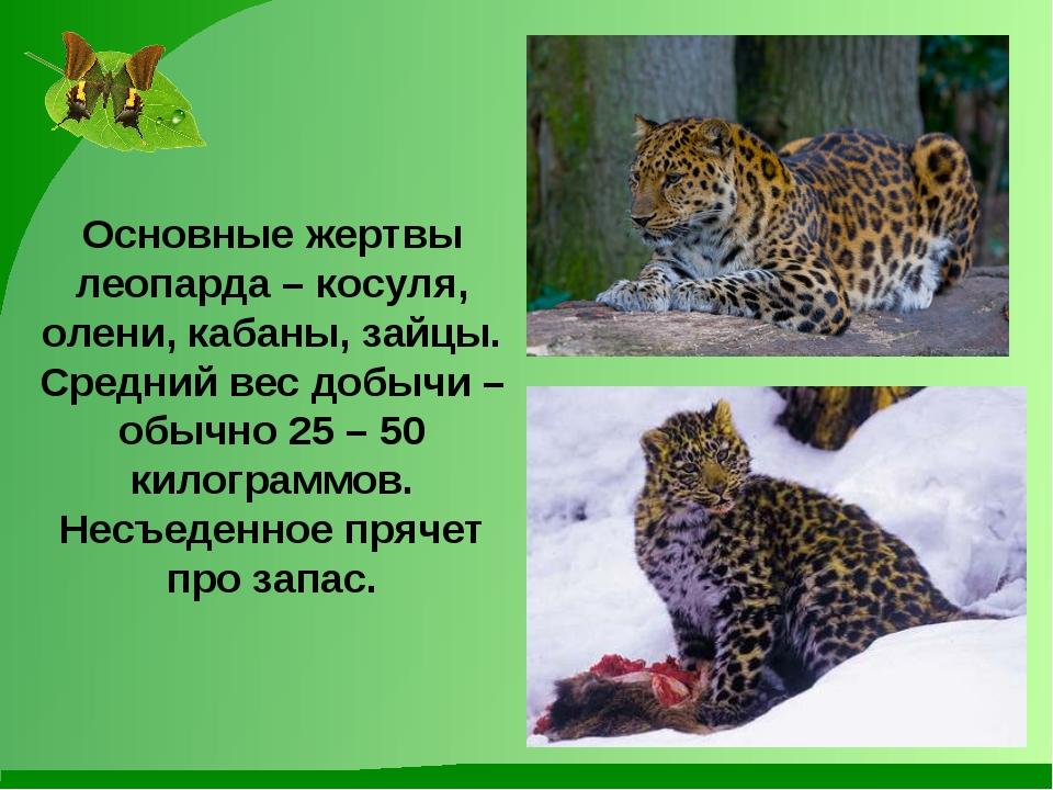 Основные жертвы леопарда – косуля, олени, кабаны, зайцы. Средний вес добычи –...