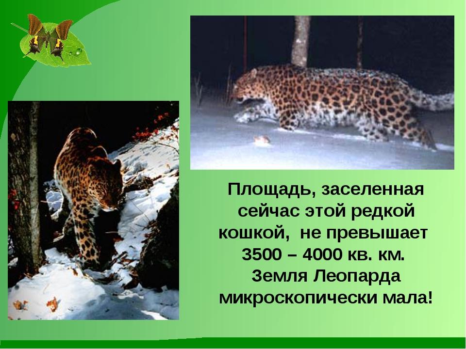Площадь, заселенная сейчас этой редкой кошкой, не превышает 3500 – 4000 кв. к...
