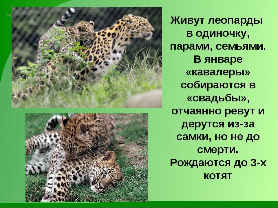 Живут леопарды в одиночку, парами, семьями. В январе «кавалеры» собираются в...