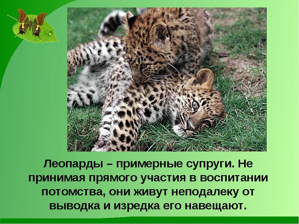 Леопарды – примерные супруги. Не принимая прямого участия в воспитании потомс...