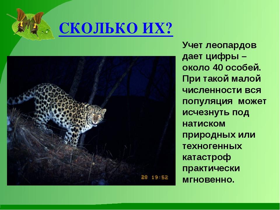СКОЛЬКО ИХ? Учет леопардов дает цифры – около 40 особей. При такой малой числ...