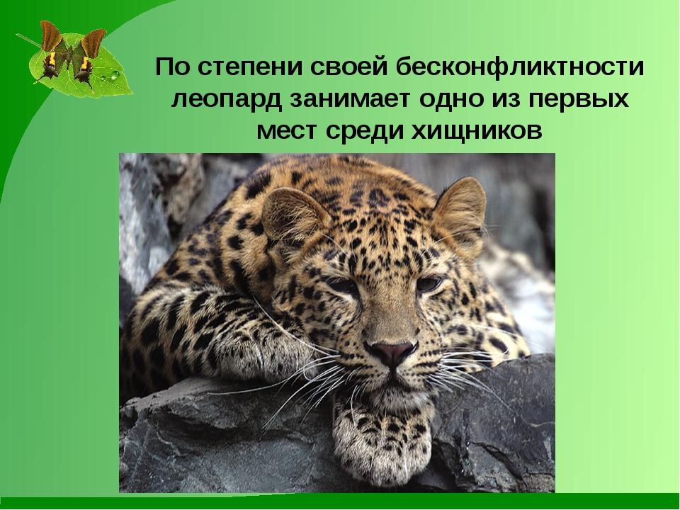 По степени своей бесконфликтности леопард занимает одно из первых мест среди...